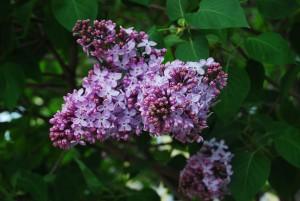 DSC 0915 Mackinac Island Lilac Festival