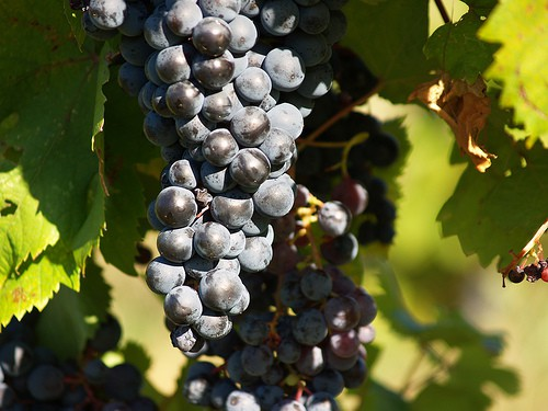 The Awesome Mitten- The 11th Annual Harvest Stompede Vineyard Run and Walk and Wine Tour
