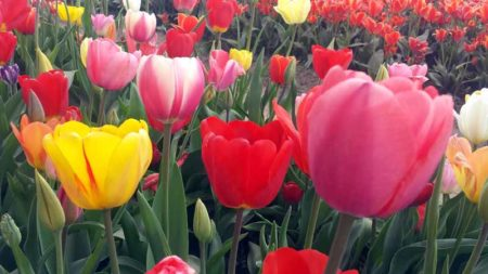 4 Best Places to Enjoy the Holland Michigan Tulip Festival