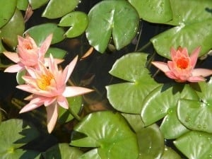 Water lilies decorate the pond surface.