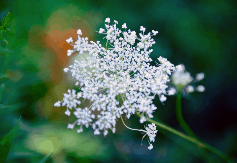 Michigan Wildflowers - Queen Anne's Lace