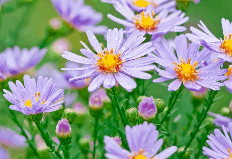Michigan Wildflowers - Smooth Aster