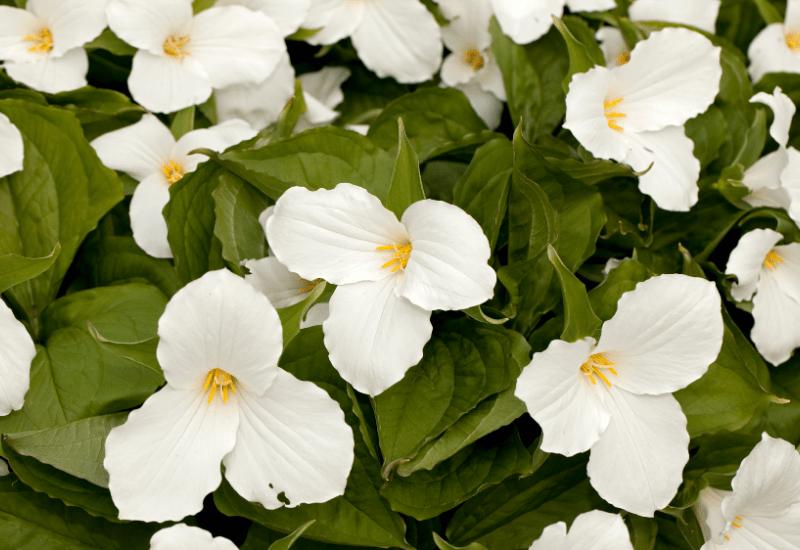 Michigan Wildflowers - Trillium