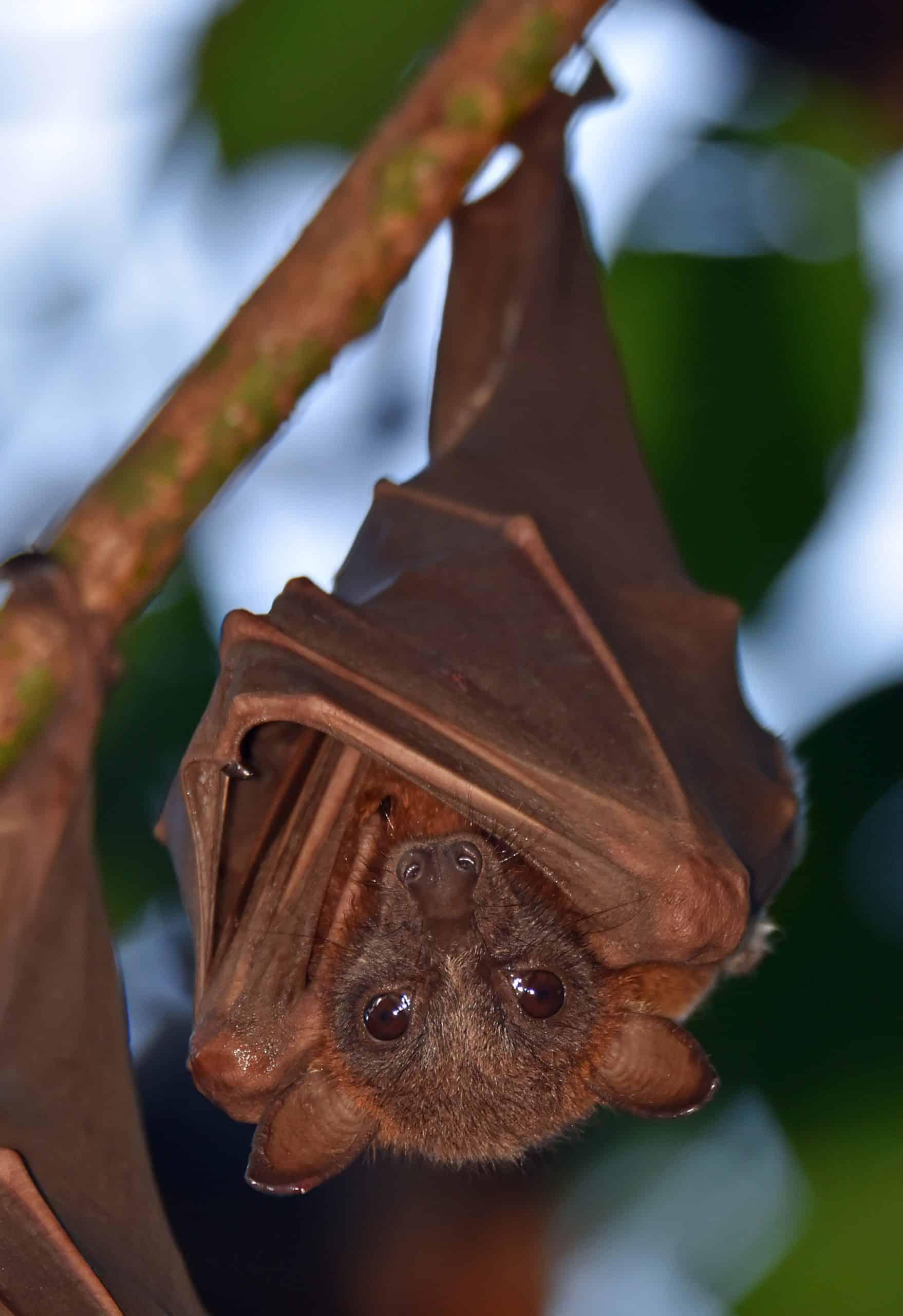 fruit bat hanging upside down