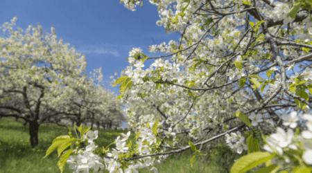 Best Places to Enjoy Traverse City Cherry Blossoms