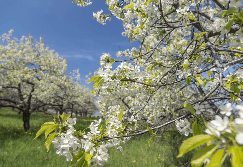 Traverse City Cherry Blossoms