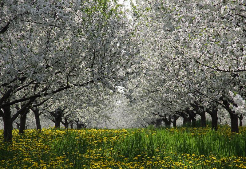Traverse City Cherry Orchard