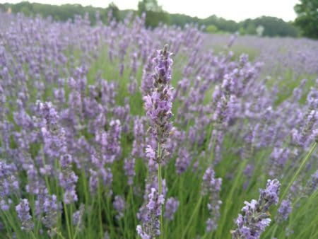 Rejuvenate At Michigan's Lavender Labyrinth