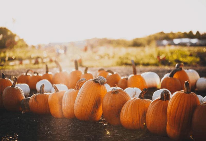 pumpkin patch - fall in michigan