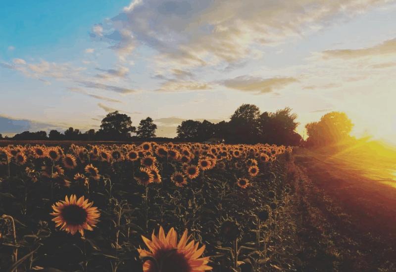 sunflower fields - fall in michigan