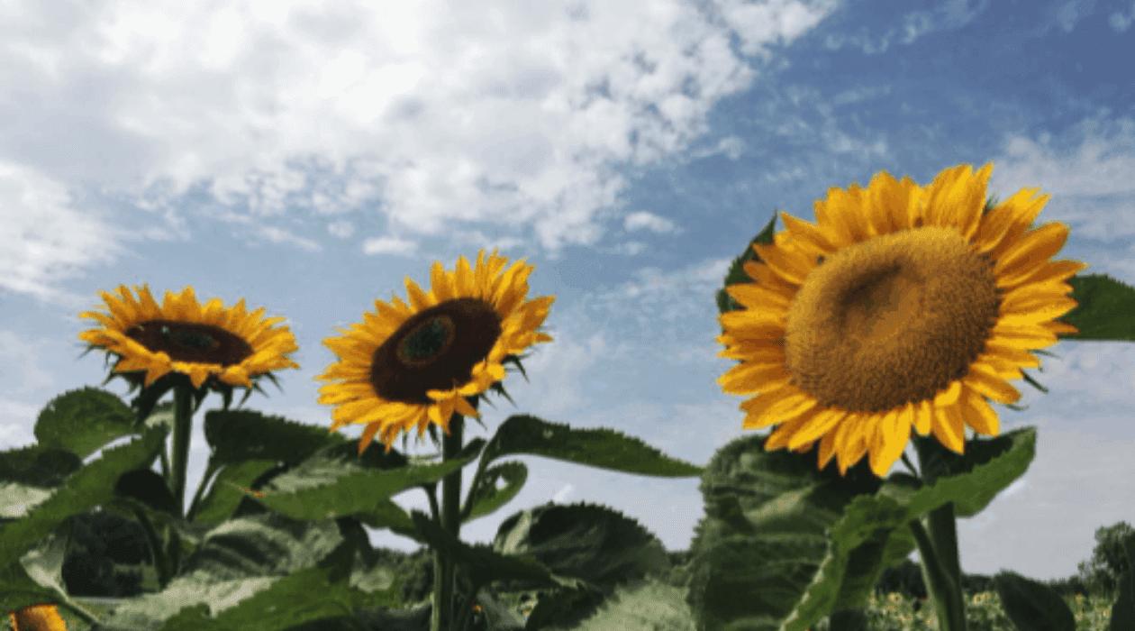 Fick Farms Visit Fick Farms for Fresh Produce & U-Pick Flowers