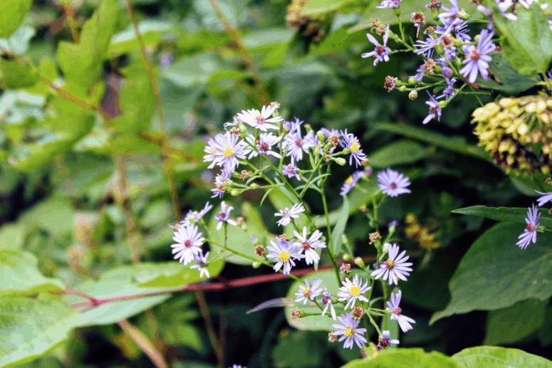 Wildflowers in bloom in August on Isle Royale National Park