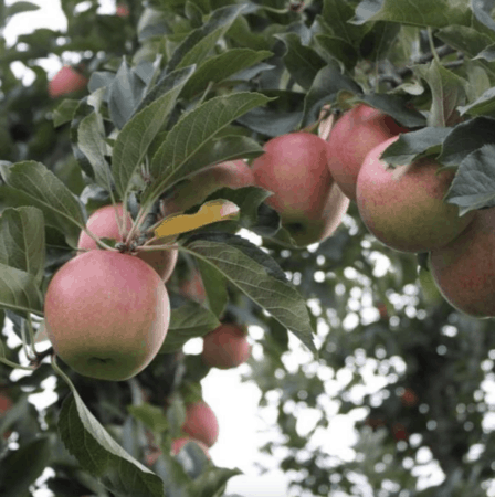 Munch & Crunch: Top 12 Apple Orchards & Cider Mills in Southcentral Michigan | Jackson, Hillsdale, Washtenaw, and Lenawee Counties