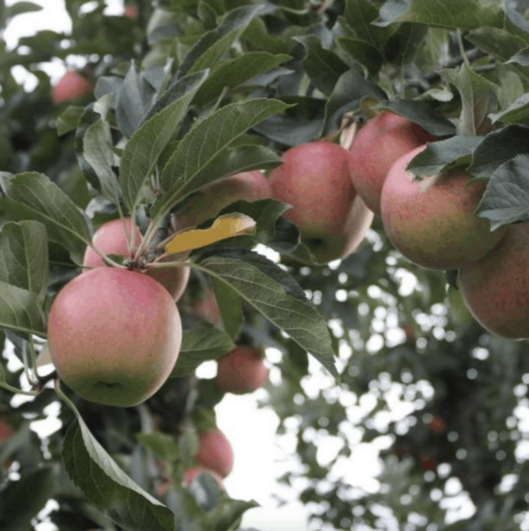 Gleis Orchards And Greenhouses Munch & Crunch: Top 12 Apple Orchards & Cider Mills in Southcentral Michigan | Jackson, Hillsdale, Washtenaw, and Lenawee Counties