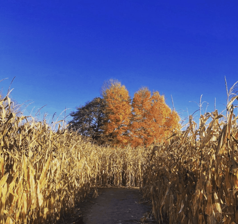 Gull Meadow Farms Corn Maze 1 Enjoy Fall at Gull Meadow Farms with the Whole Family