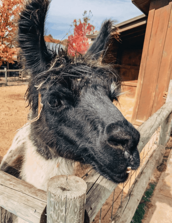 Lewis Adventure Farm and Zoo 4 Plan a West Michigan Apple Orchard Tour this Fall | 10 Can't-Miss Apple Orchards in West Michigan