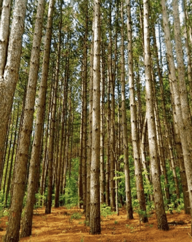 Pine Plantation 12 Can't-Miss Stops Along the Famous Pierce Stocking Scenic Drive in Sleeping Bear Dunes Michigan [with Map]