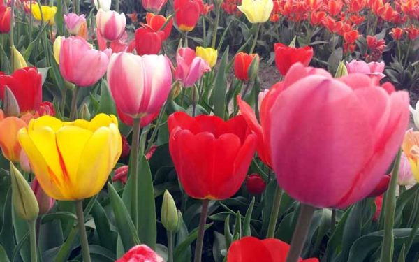 Capturing the Colorful Holland Tulips of Spring